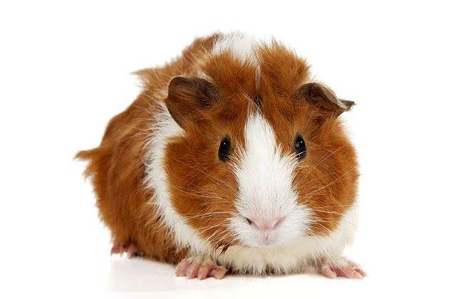 Розеточная морская свинка - вид спереди