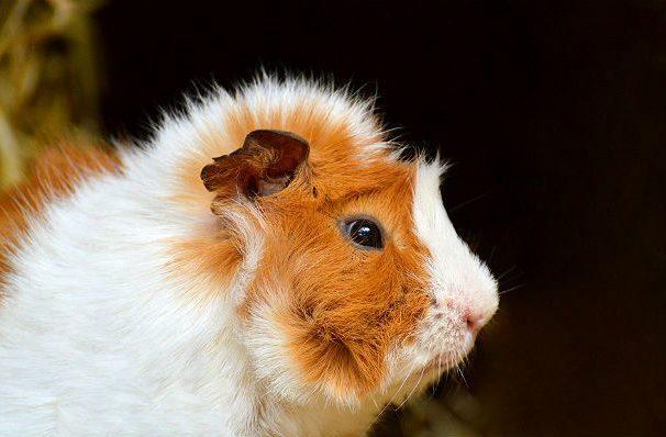 Розеточная морская свинка - мордашка
