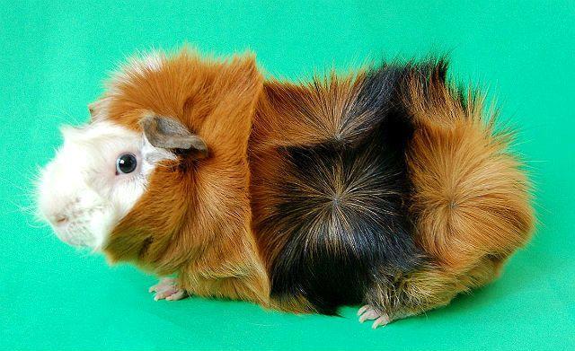Розеточная морская свинка - внешний вид