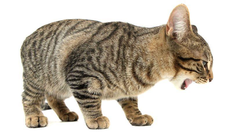 Рвотные позывы без рвоты у кошки