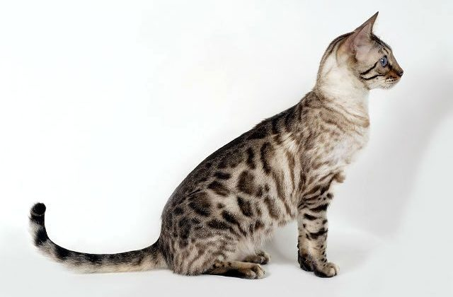 Кошка серенгети серого окраса