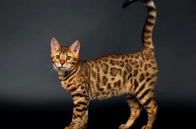 Кошка серенгети с поднятым хвостом