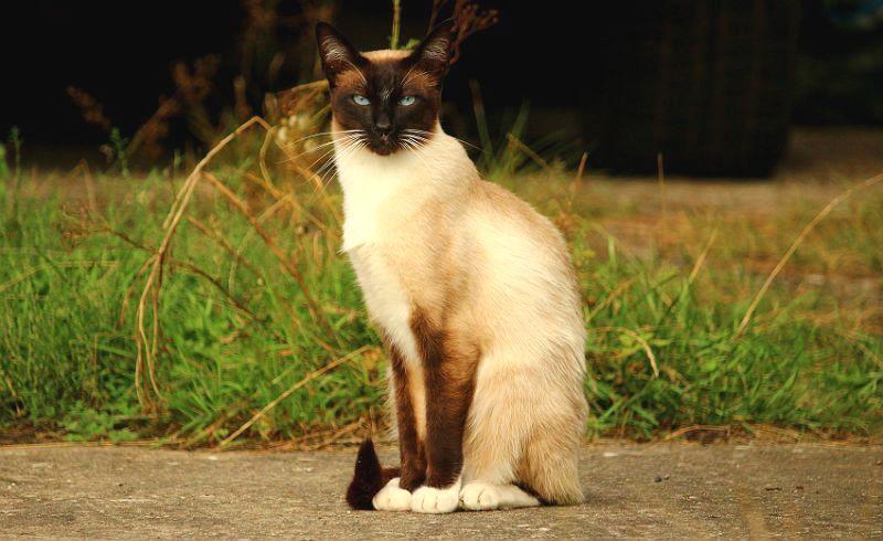 Сколько может прожить сиамская кошка - главное фото