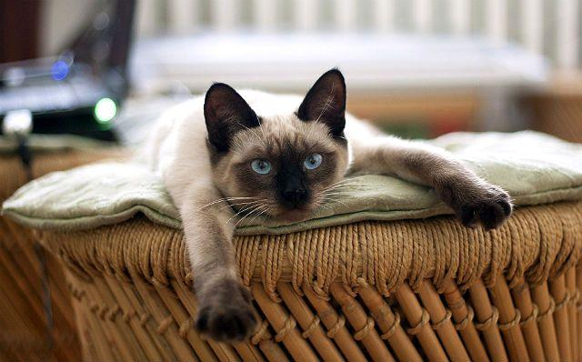 Сколько может прожить сиамская кошка - старость