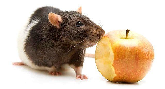 Содержание декоративной крысы - кормление
