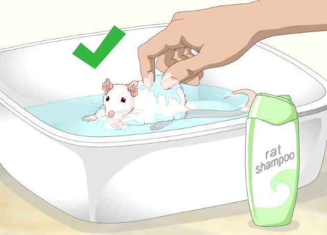 Содержание декоративной крысы - купание
