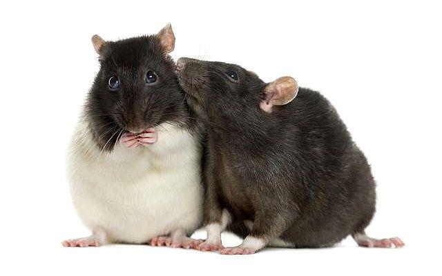Содержание декоративных крыс в домашних условиях