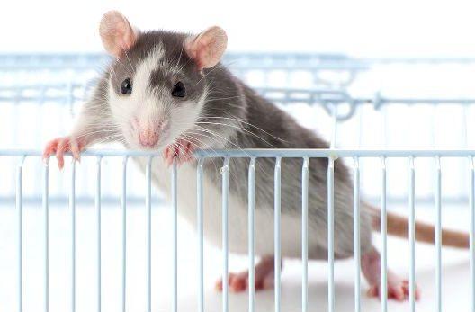 Содержание декоративной крысы - выбор клетки