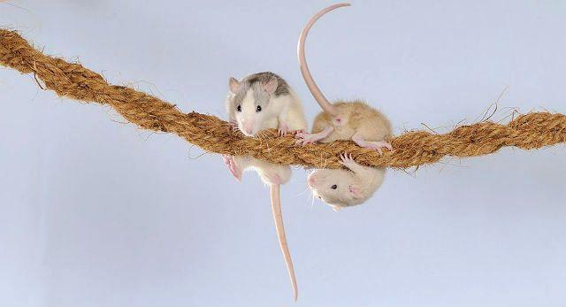 Содержание декоративных крыс в домашних условиях - обустройство жилища