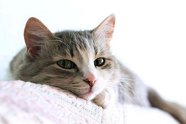 Сухой нос у кошки