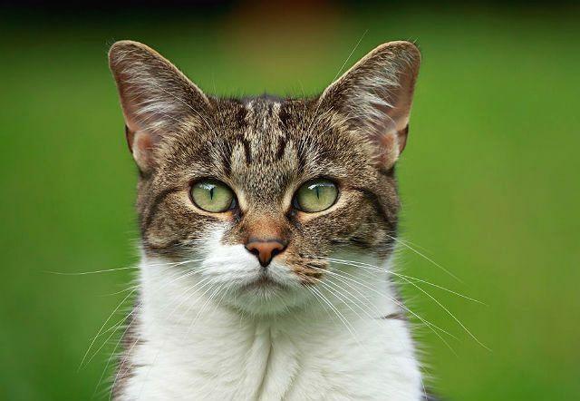 Сухой нос и горячие уши у кошки