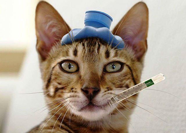 Температура у кошки - главное фото