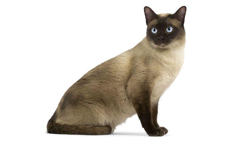 Тонкинская кошка - главное фото