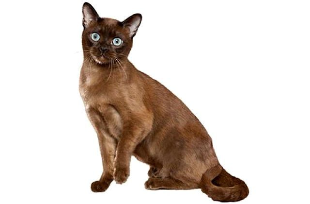 Тонкинская кошка коричневого окраса