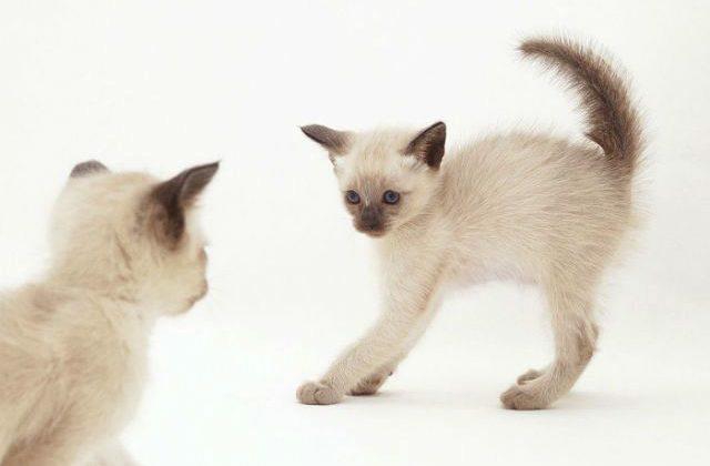 Игривый тонкинский котенок
