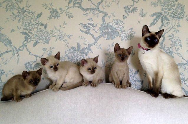 Тонкинская кошка с котятами