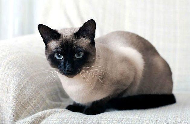 Тонкинская кошка в домашних условиях