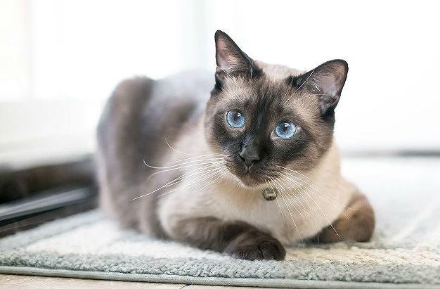 Тонкинская кошка с голубыми глазами