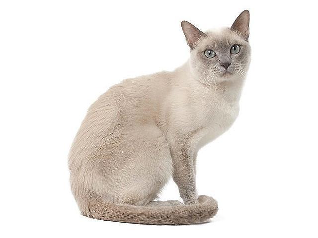 Тонкинская кошка светлого окраса