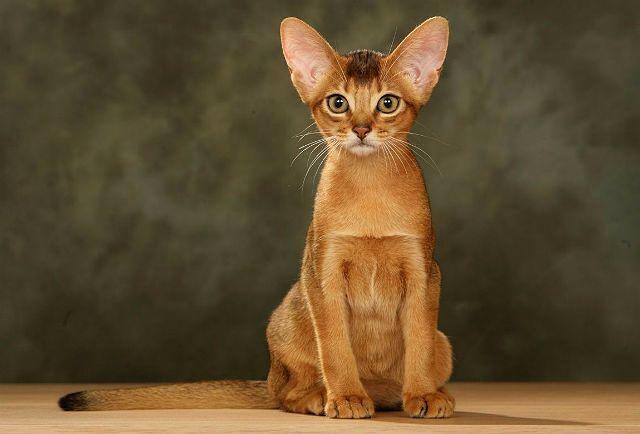 Уход за абиссинским котенком