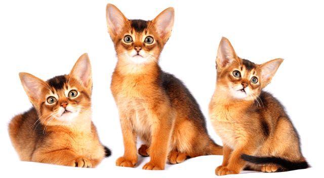 Воспитание абиссинского котенка