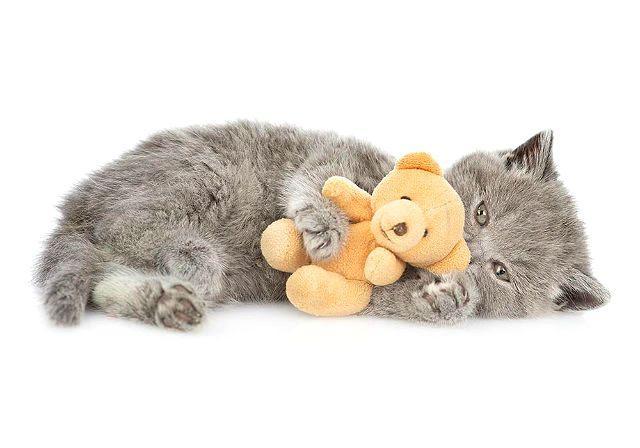 Британский котенок с игрушкой