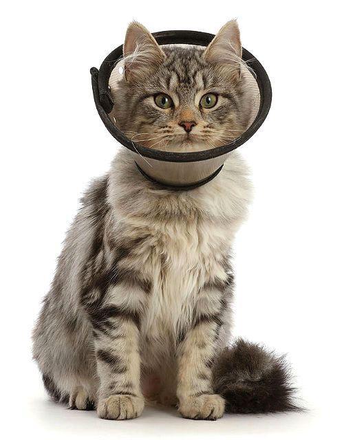 Уретростомия у кота - послеоперационный уход