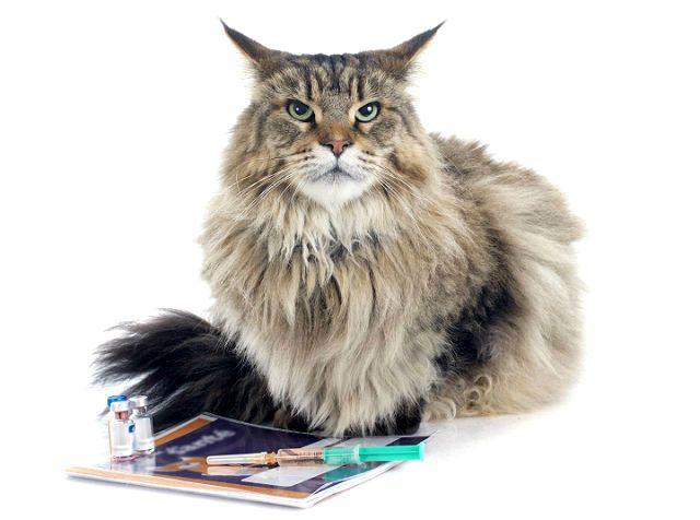 Вакцинация кошек от лишая - главное фото