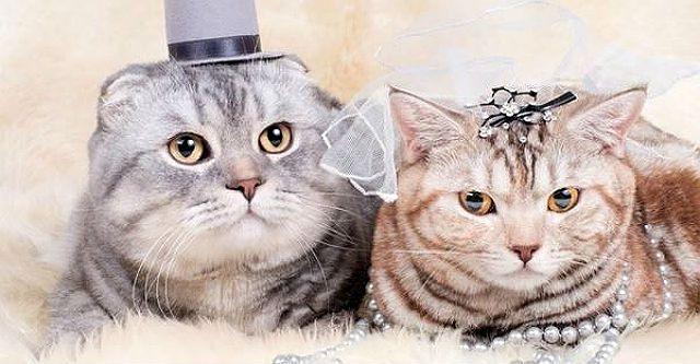 С какой кошкой можно сводить шотландского вислоухого кота thumbnail