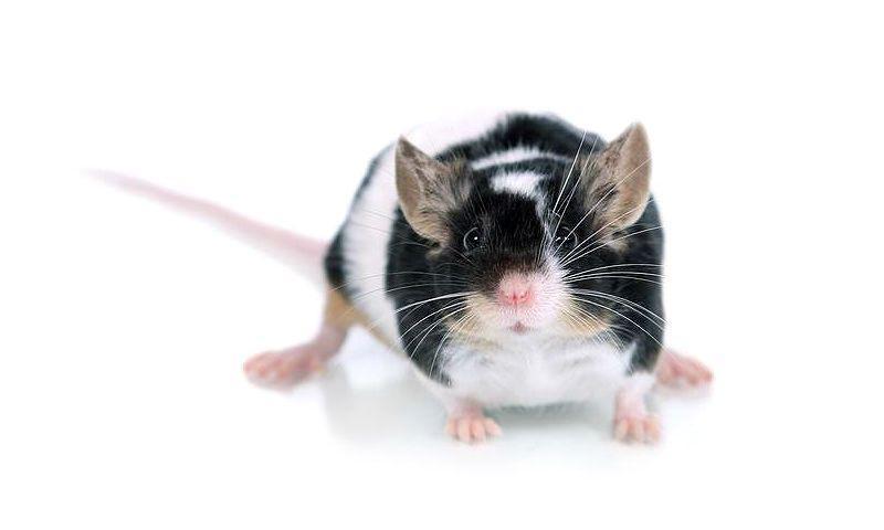Японская мышь - главное фото