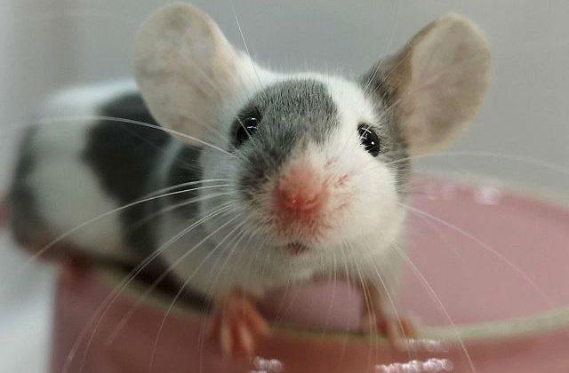 Японская мышь - мордочка