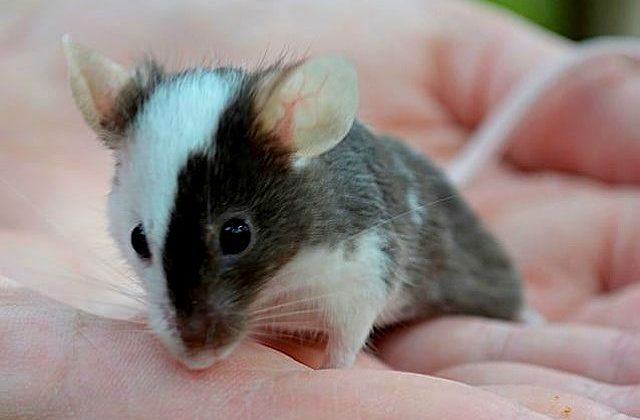 Японская мышь в ладошке