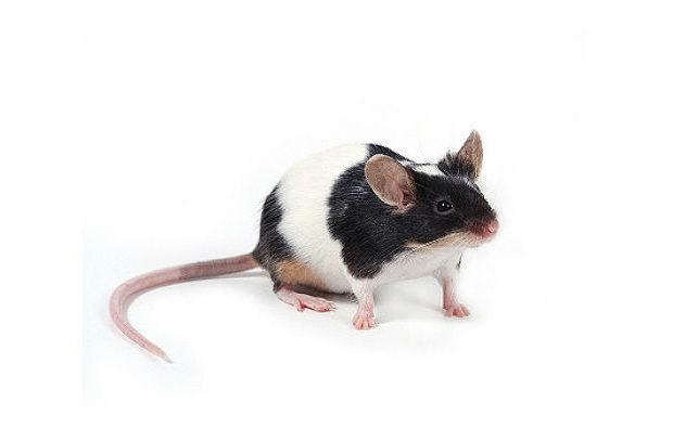 Японская мышь с черными пятнами