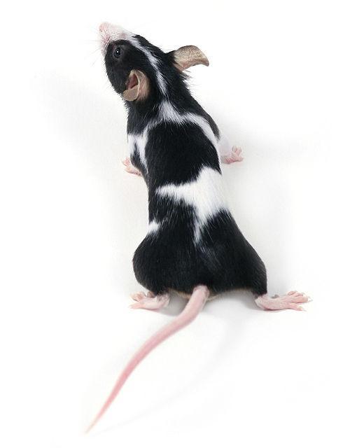 Японская мышь с пятнистым окрасом