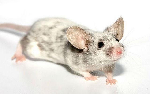 Японская мышь с серыми пятнами