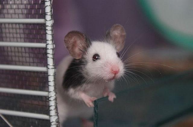 Японская мышь - карликовый грызун