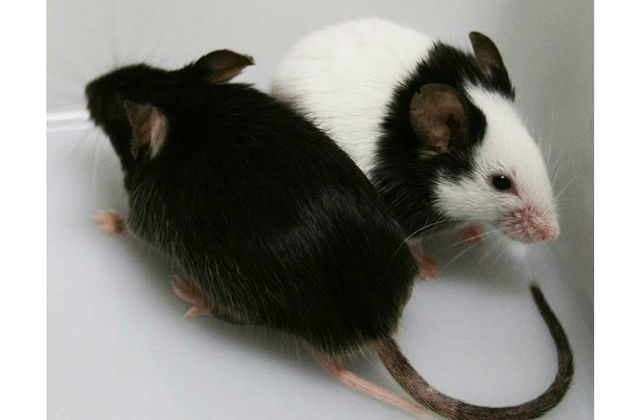 Мышки - черная и японская
