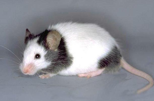 Японская мышь - вид сбоку
