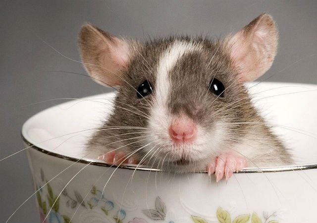 Японская мышка