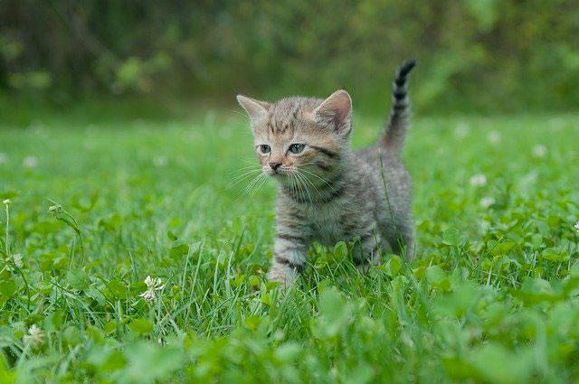 Не рекомендуется применять капли котятам до 2-х месяцев