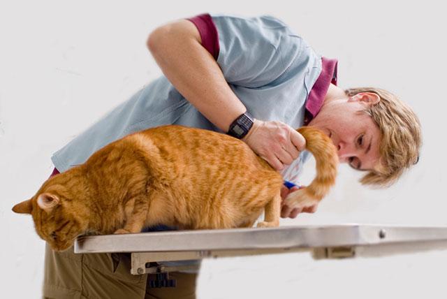 У кошек могут воспаляться параанальные железы