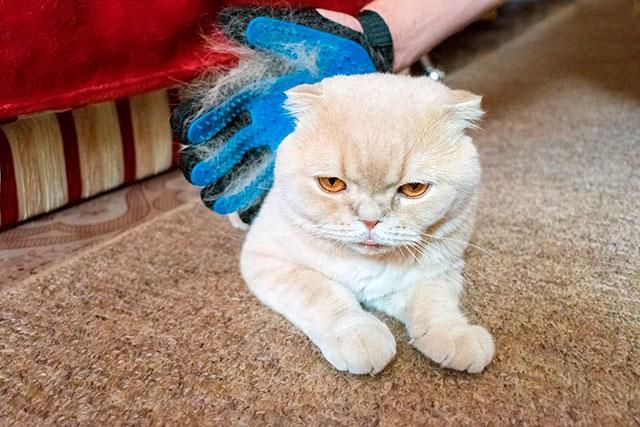 Линька у шотландской кошки