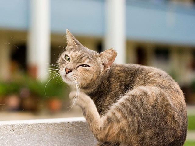 Зуд у кошки после укуса блохи