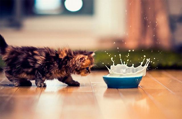 После 3-х месяцев у кошек может возникнуть непереносимость лактозы