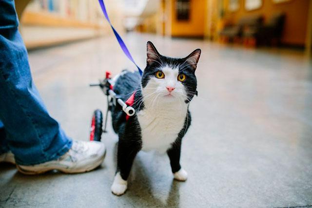 Кошка с параличом задних лап