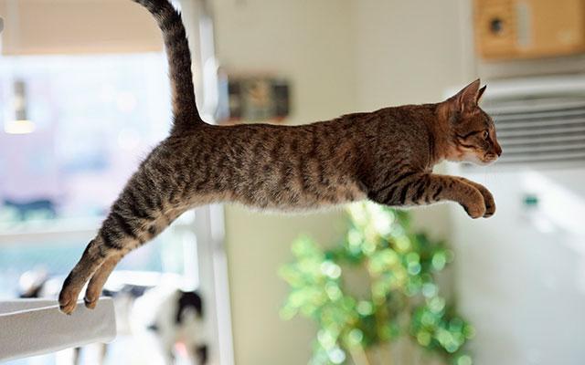 Прыгающая кошка
