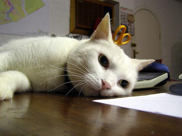Домашняя кошка тоже может заразиться чумой