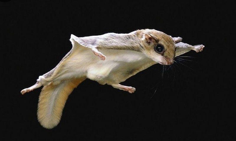 Белка-летяга - главное фото
