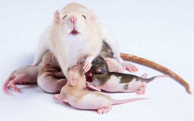 Беременная крыса - главное фото