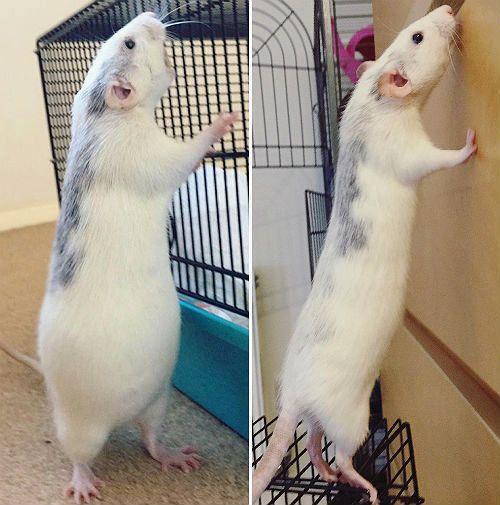 Как понять, что крыса беременна